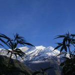 combatir el frio en el cultivo de marihuana
