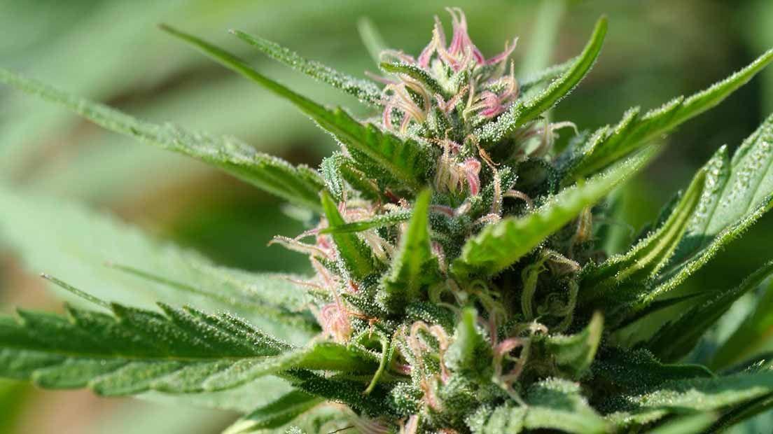 Marihuana con poco olor pink plant