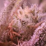 tricomas y conservar marihuana