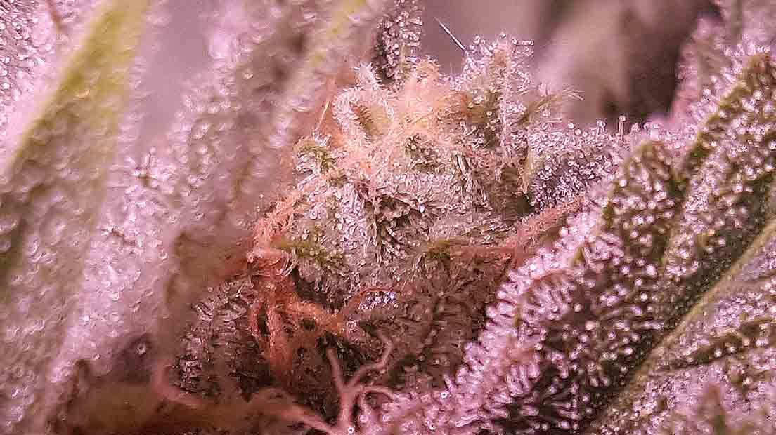 cómo conservar marihuana