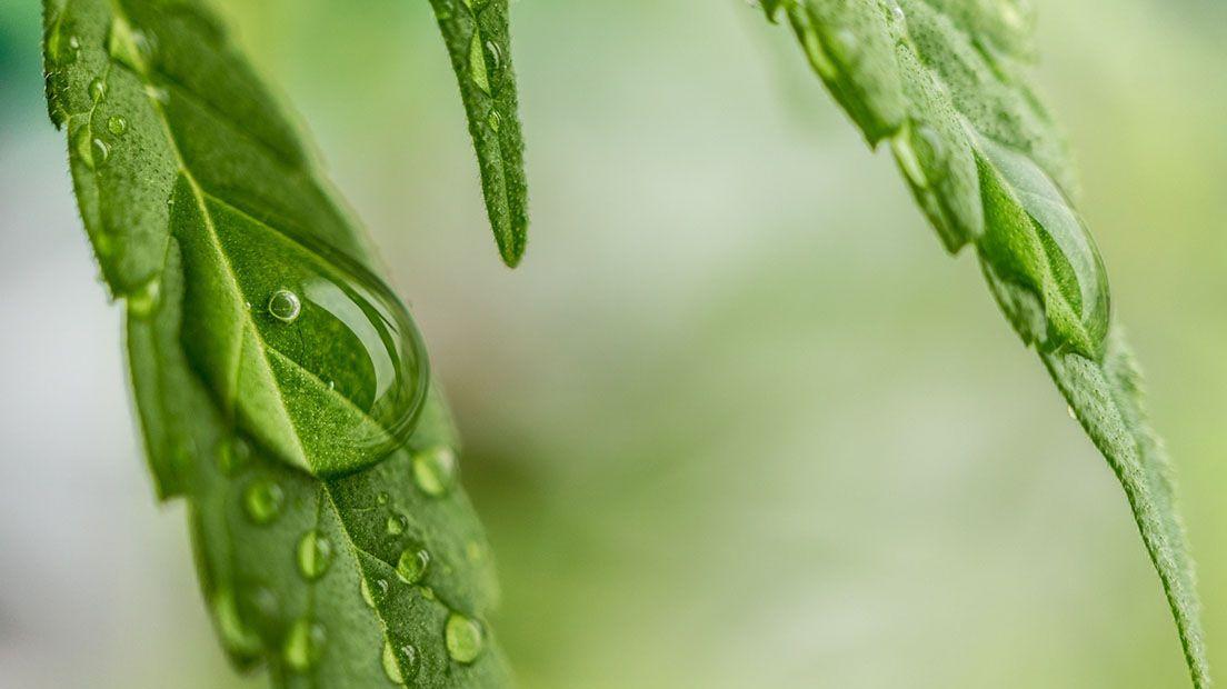 Exceso de riego en la marihuana