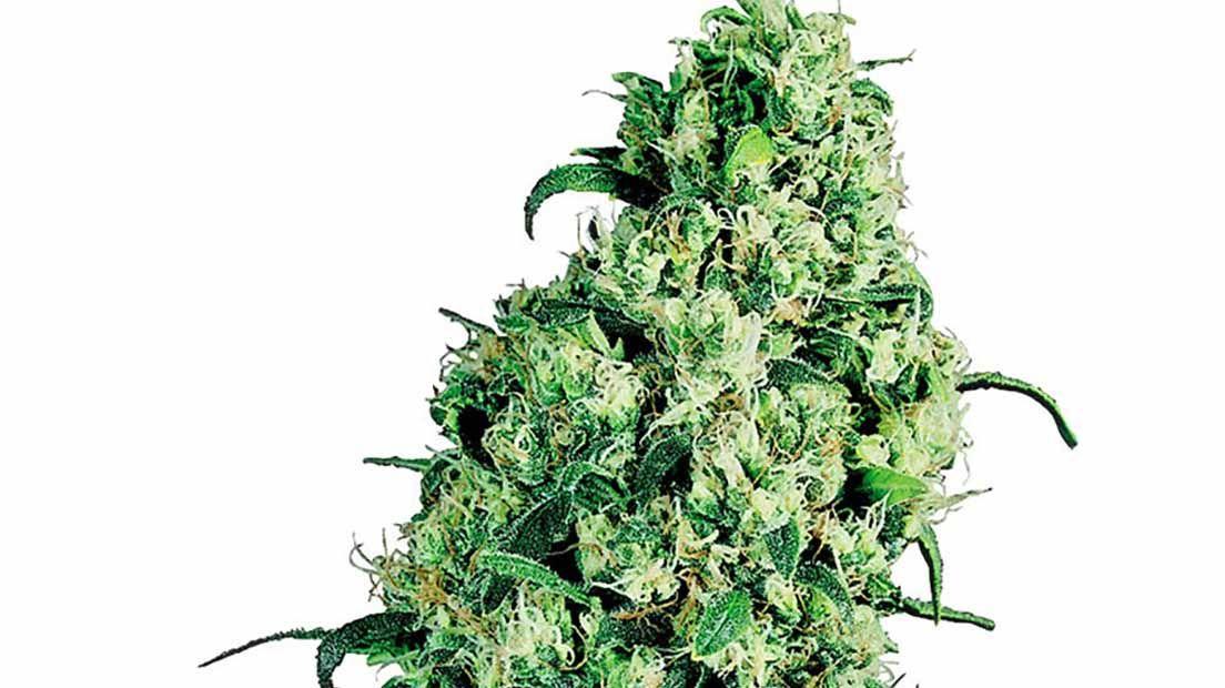 semillas de marihuana para novatos