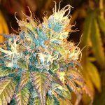 Marihuana para hacer hachís