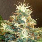 Marihuana a mejor precio