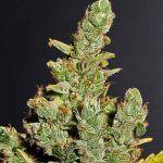 Cola de zorro en la marihuana