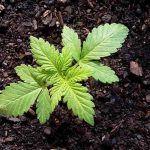 cultivo de marihuana orgánico