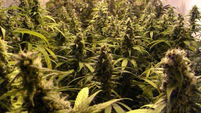 marihuana energética
