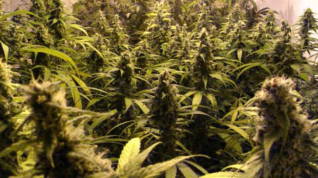 que es la marihuana activa