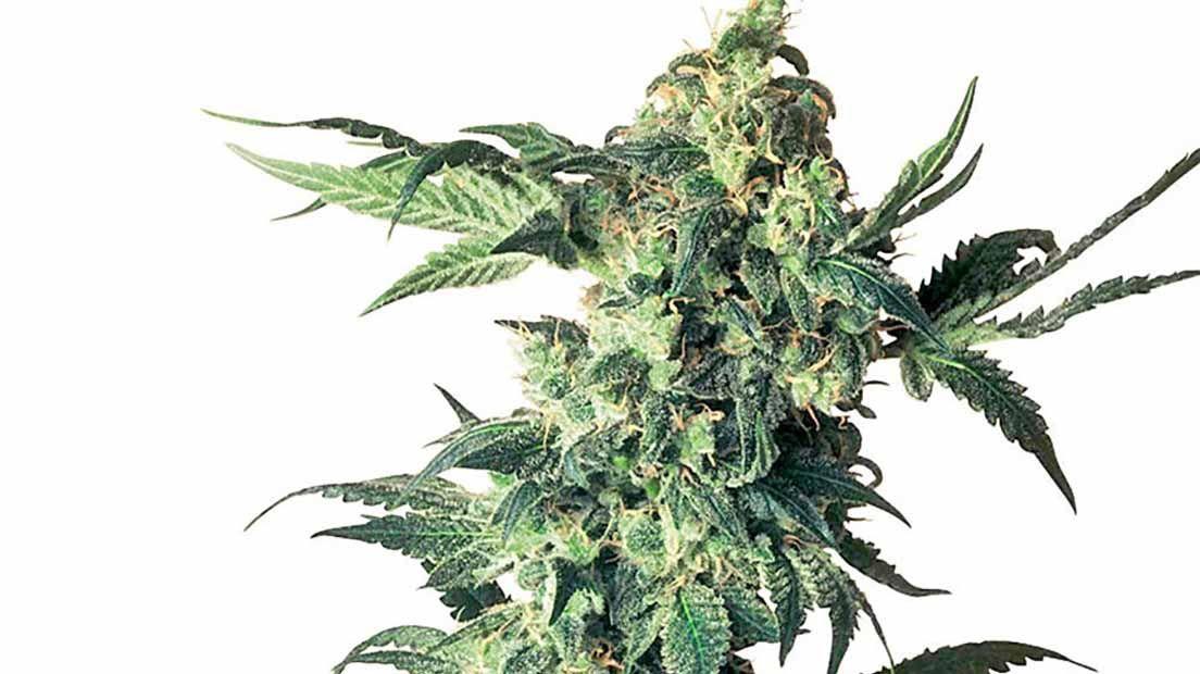 marihuana relajante