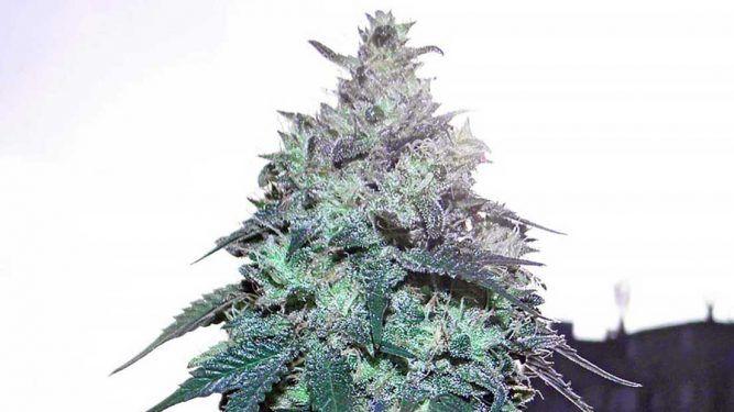 marihuana resistente a la humedad
