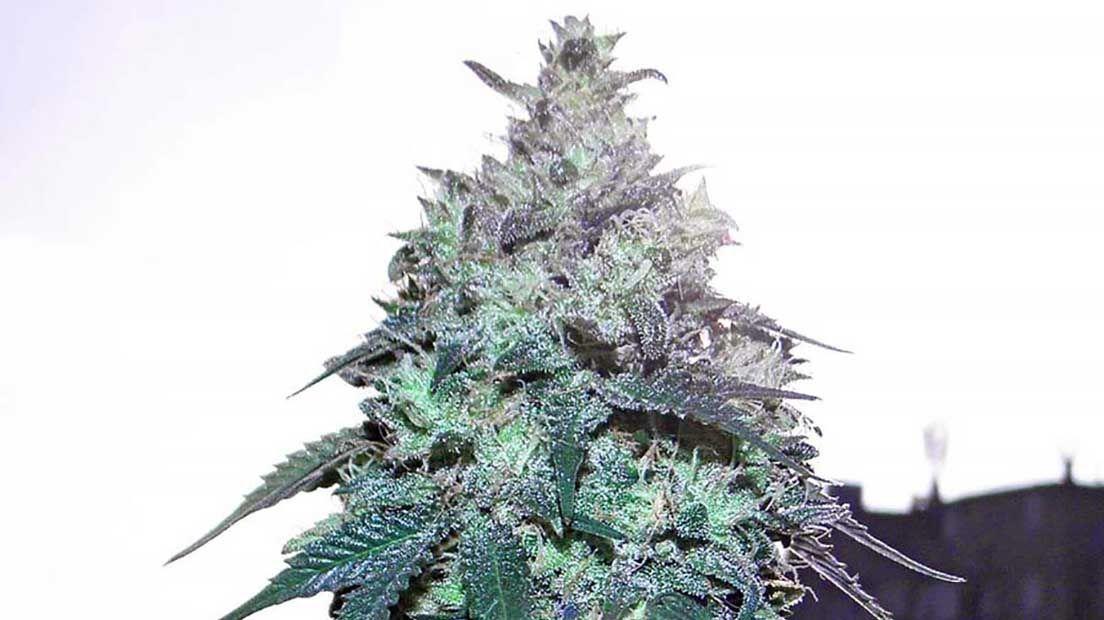 marihuana resistente a la humedad, semillas de marihuana más potentes