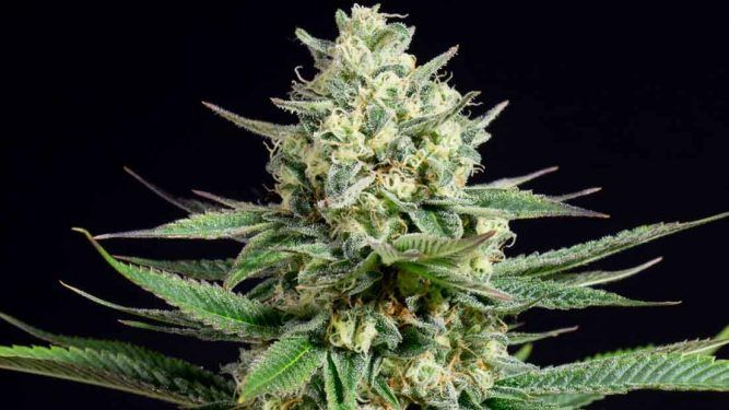 Las mejores variedades de marihuana para exterior