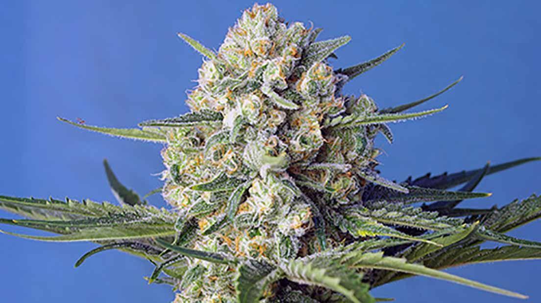 marihuana más temprana