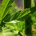 micronutrientes de la marihuana