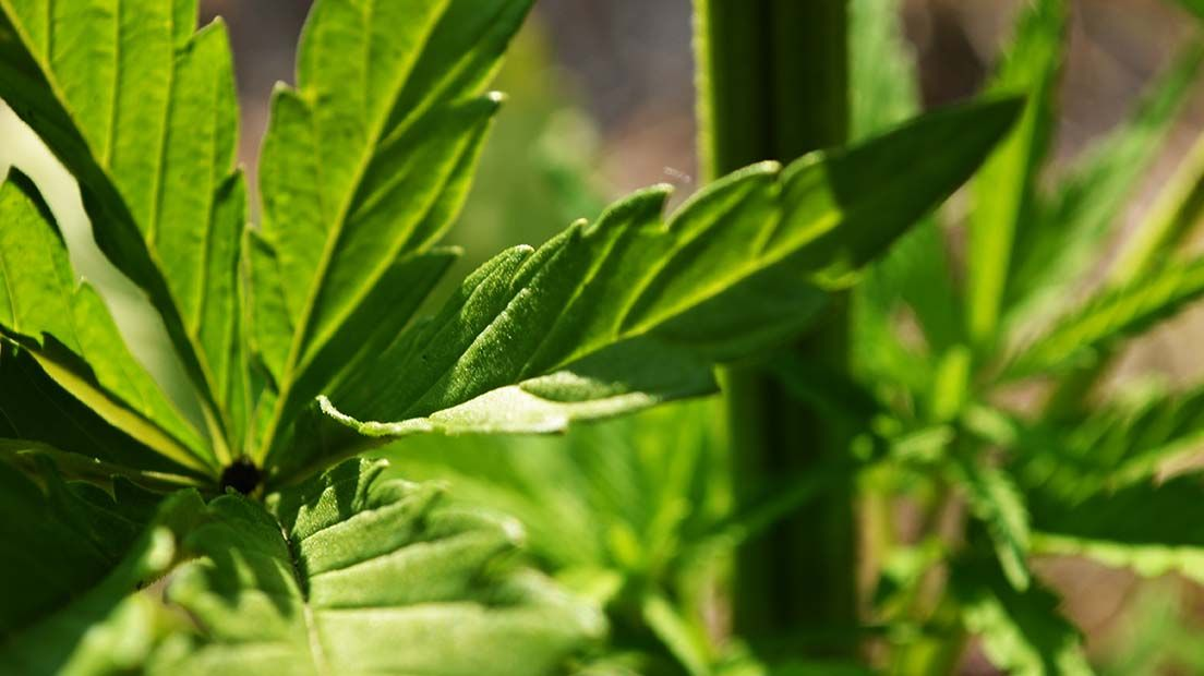 micronutrientes del cannabis