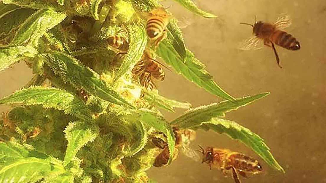 Marihuana y miel