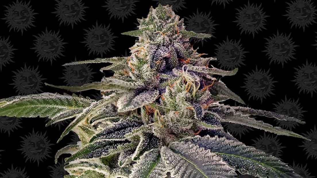 semillas de marihuana más potentes