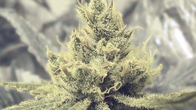 semillas de marihuana más potentes, marihuana creativa