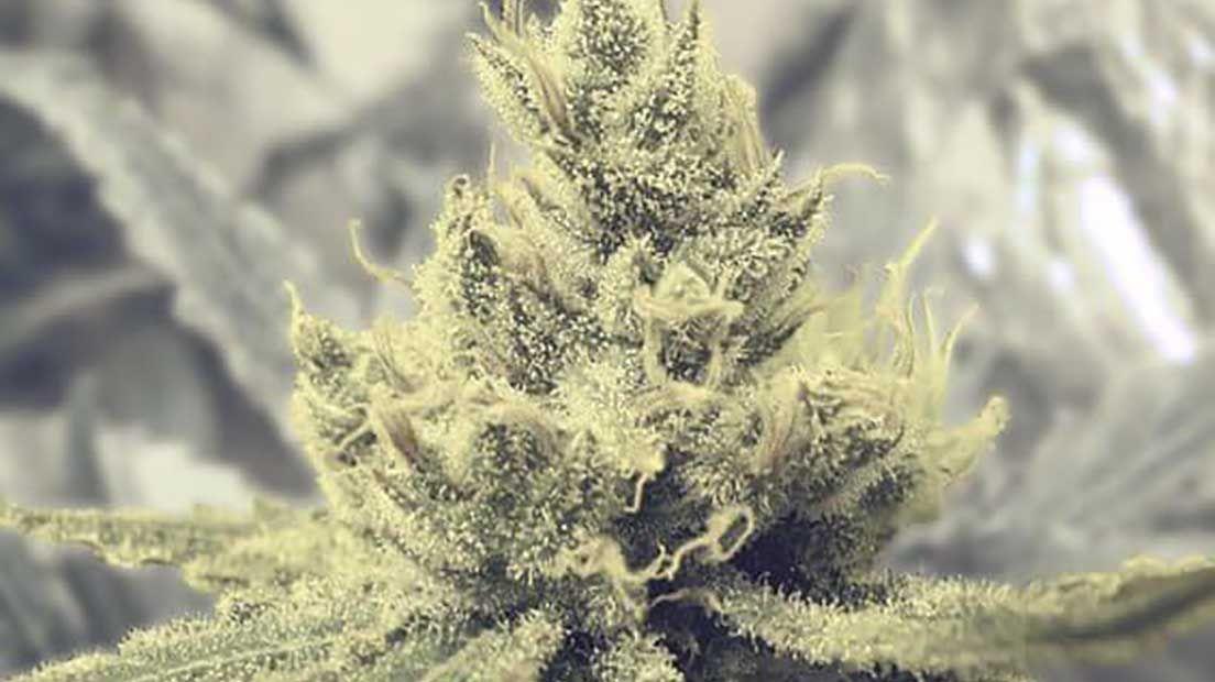 Las mejores variedades de marihuana creativa