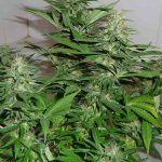 Cultivo de marihuana autofloreciente