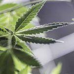 Crecimiento de la marihuana