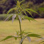 Fotosíntesis de la marihuana