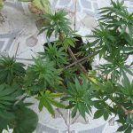 Ácidos fúlvicos y húmicos en la marihuana