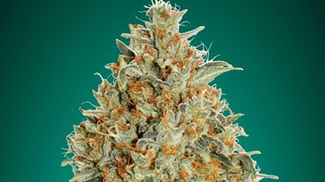La mejor marihuana autofloreciente