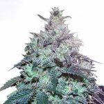 La mejor marihuana para extracciones