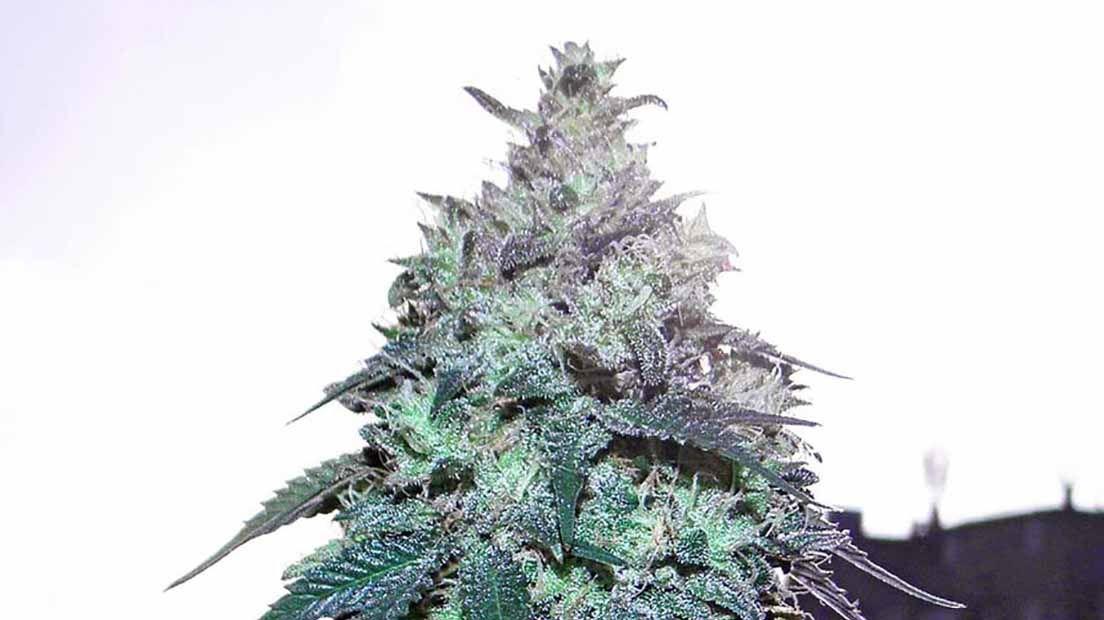 mejor marihuana para extracciones