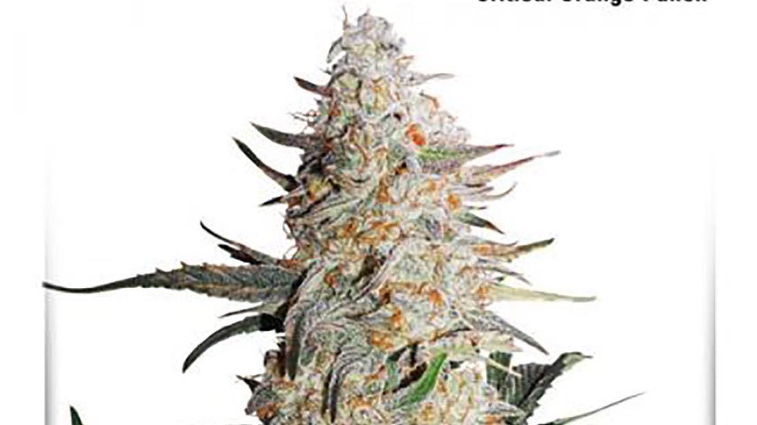La mejor marihuana Skunk