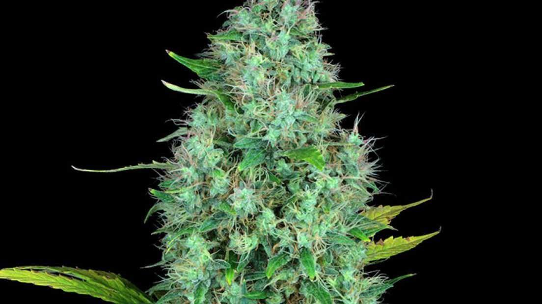 La mejor marihuana Sativa