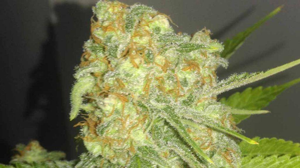 Critical Orange Punch marihuana más productiva de 2019