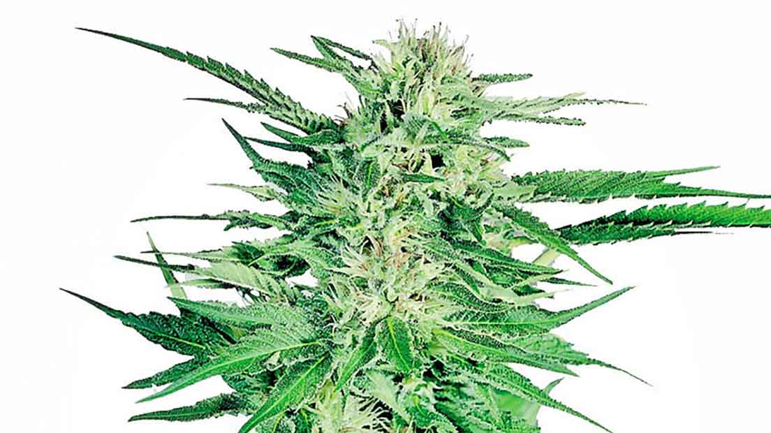 La marihuana más productiva de 2019