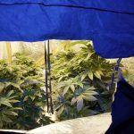 Plantar marihuana en espacios reducidos