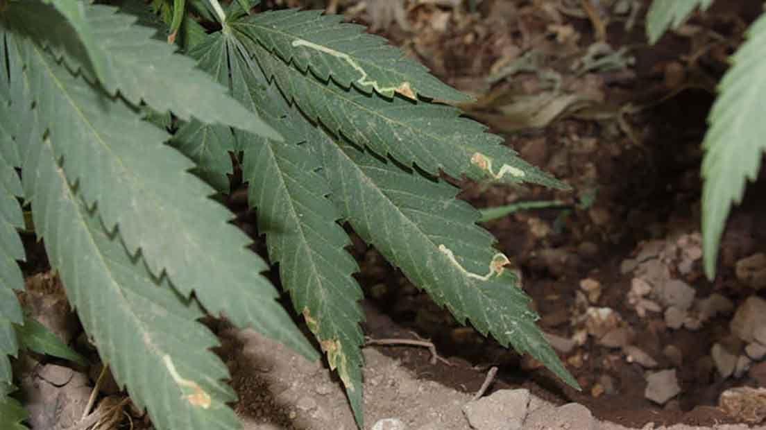 Minadores en la marihuana