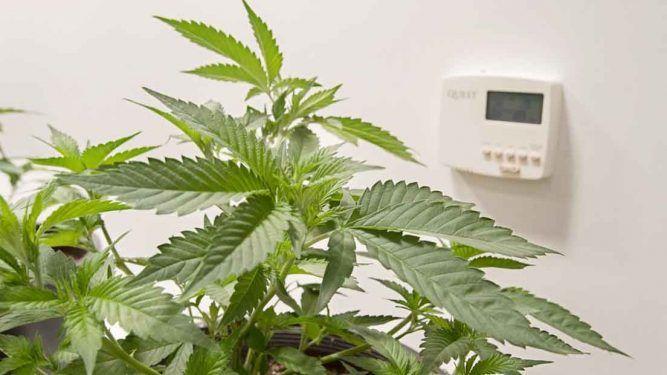 humedad relativa de la marihuana