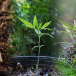 cultivo continuo de marihuana