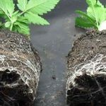 trasplantar la marihuana