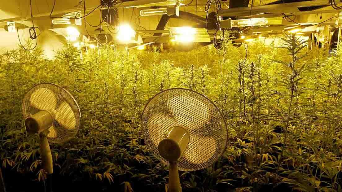 Ventilación del cultivo de Cannabis
