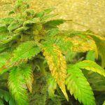 Azufre en la marihuana