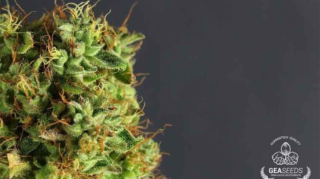Las semillas de marihuana más baratas de 2019