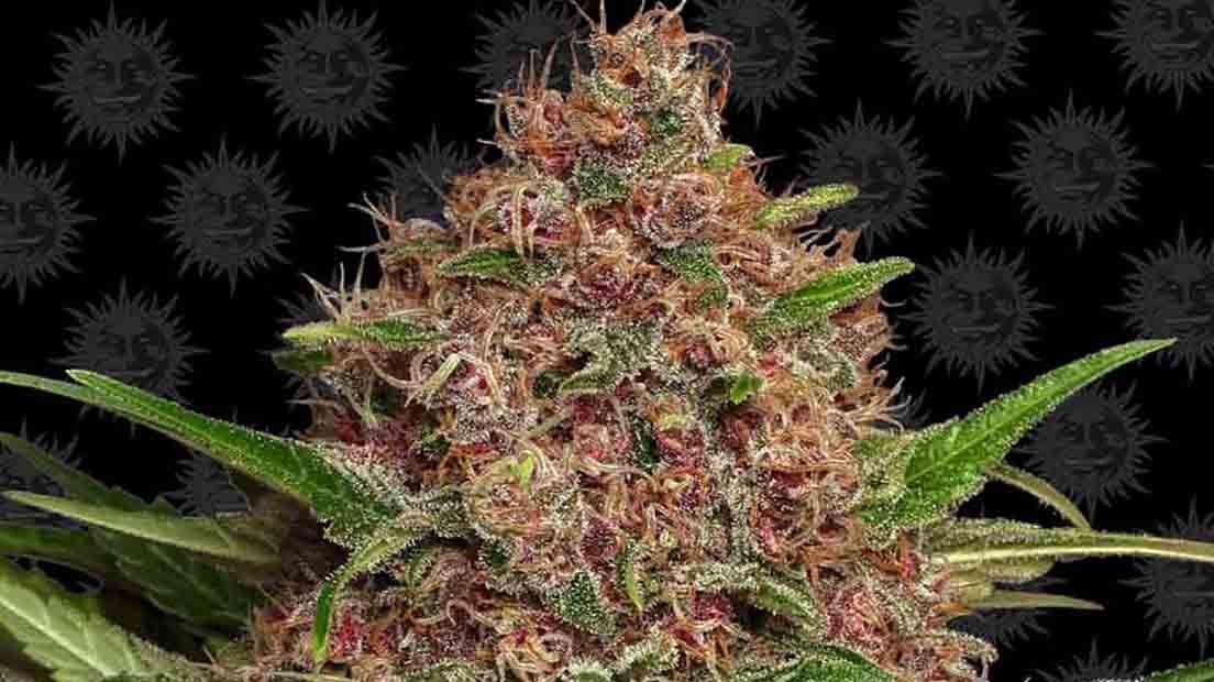 Marihuana autofloreciente más rápida