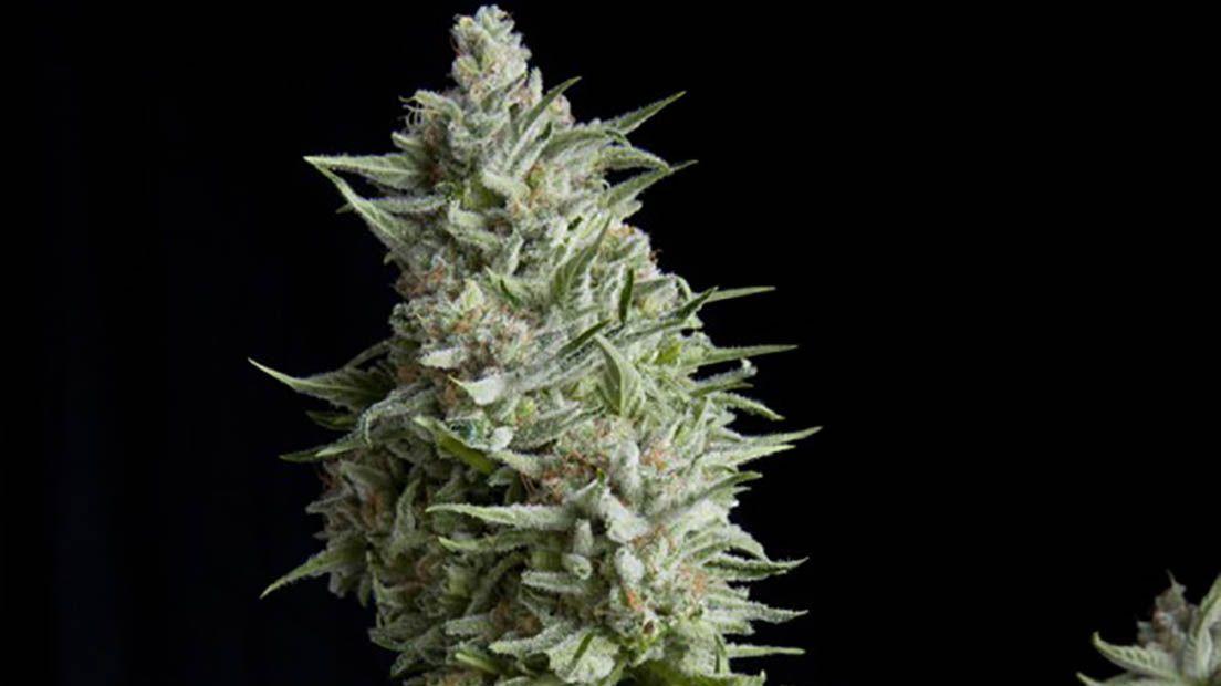 Marihuana resistente al frío. Autoflorecientes para climas fríos