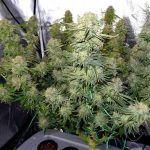 Defoliación de la marihuana