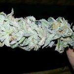Marihuana con poco THC