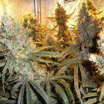 El mejor Cannabis cítrico
