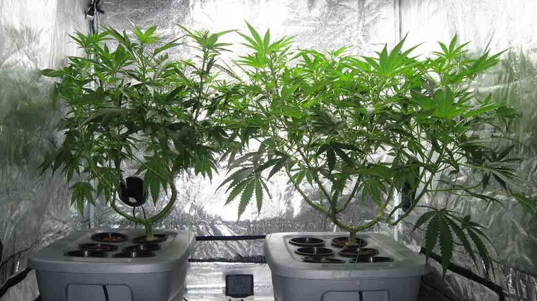 Medio para el cultivo de marihuana
