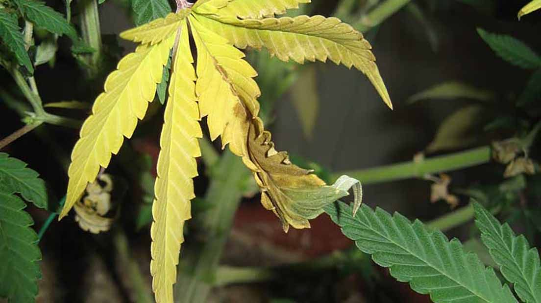 hojas amarillas en la marihuana