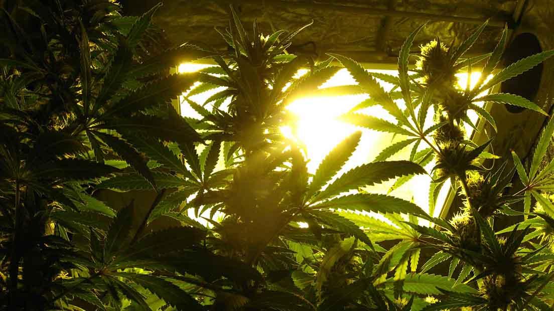 Aumentar el THC de la marihuana
